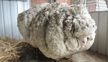 Chris the sheep: Merino with famously overgrown fleece dies