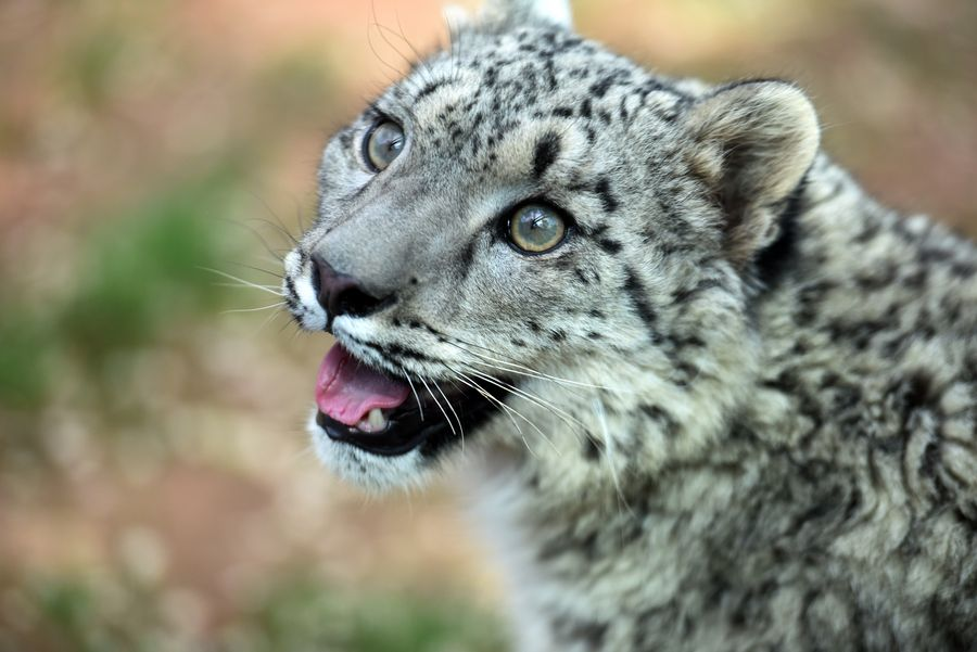 Chinese nature reserve releases report on snow leopards