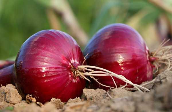 Indian Govt allows export of Bangalore rose onion until Nov 30