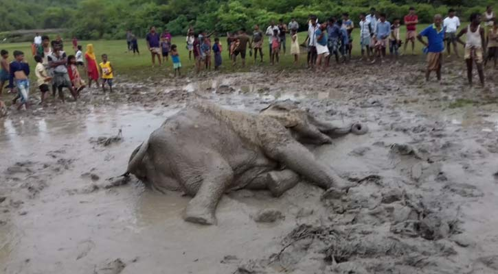 Elephant rescued from ditch in Chattogram dies