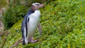 Bird of the Year: Rare anti-social penguin wins New Zealand poll