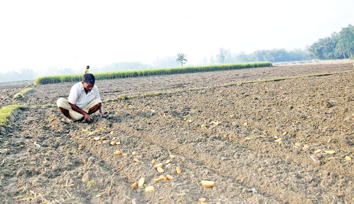 Farmers are busy sowing seeds of early variety potato in their field