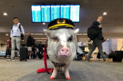 Meet adorable therapy pig LiLou who's helping out stressed airport passengers