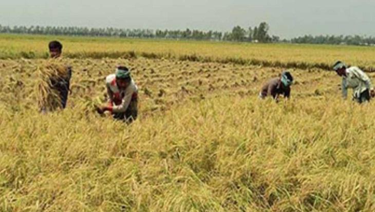 Low prices spoil joy of bumper Aman harvest