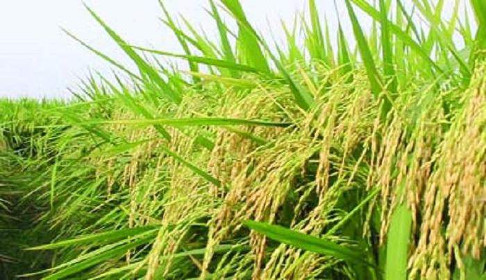 Consumption of zinc-enriched rice meets nourishment: Agriculturists