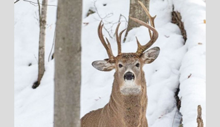 'One in a million' three antler-deer spotted in US