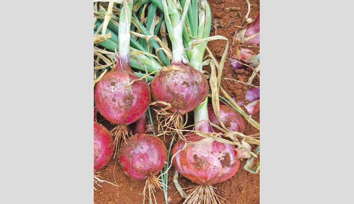 Local variety of onion hits Faridpur markets