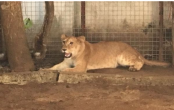 Lion removed from house opposite school in Lagos