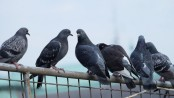 How human hair causes pigeons to lose their toes