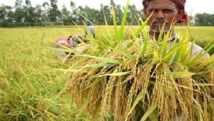 Govt to purchase rice through app this Aman season