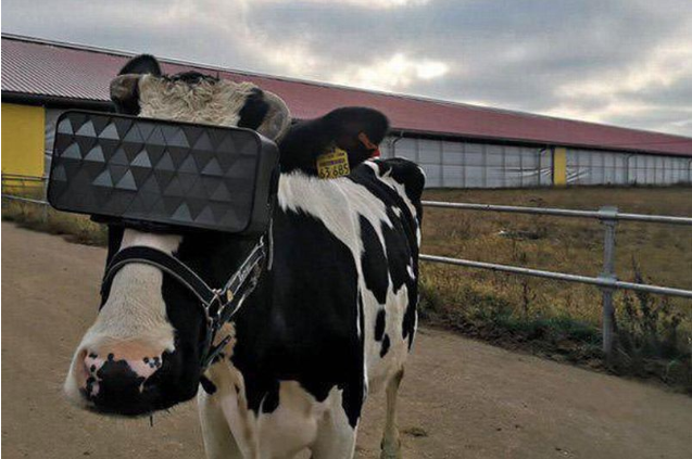 Farmers put VR headsets on cows in hopes of boosting milk production