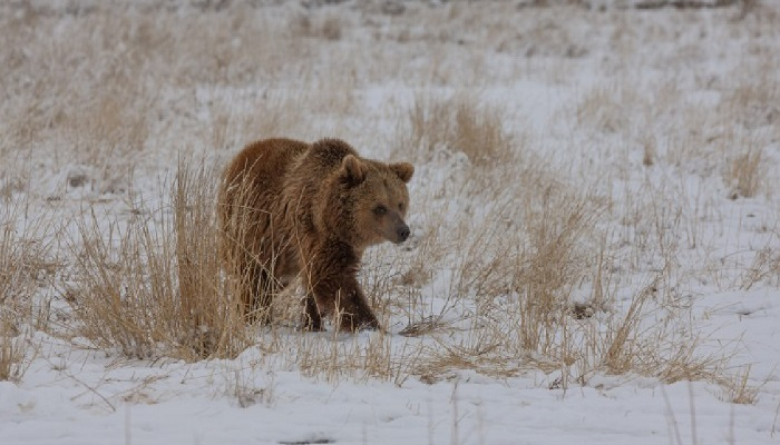10 grizzly bears relocated from Argentina to Colorado