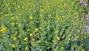 Over 2.93 lakh tonnes  mustard seed yield likely  in Rajshahi division