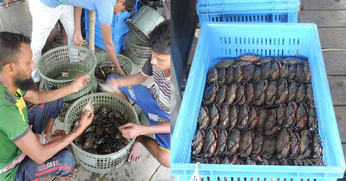 Khulna shrimp farmers opt for crab farming to recoup losses