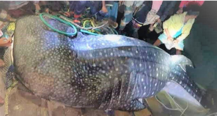 200-kg tiger shark caught in Chattogram