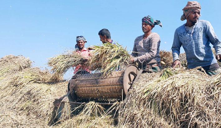 Farmers are busy threshing 'Aman' paddy
