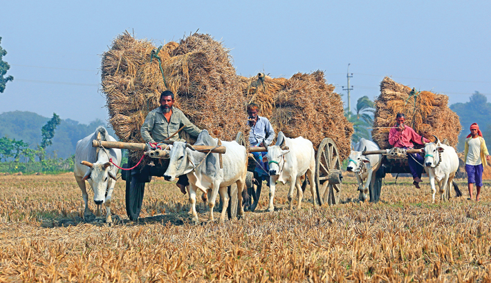 Farmers are now busy with harvesting Aman paddy