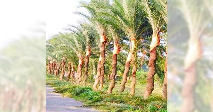Jashore date sap extractors busy preparing trees