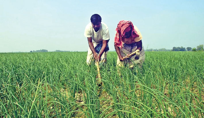 Farmers are taking care of onion plants