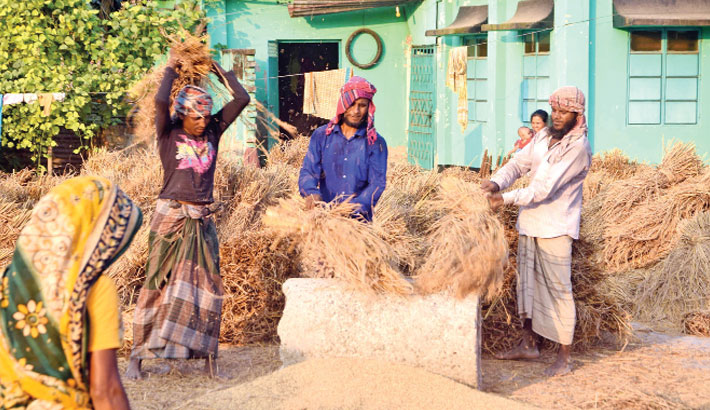 Farmers are thrashing Aman paddy