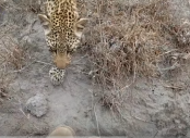 Wildlife photographer found himself facing a leopard (watch)