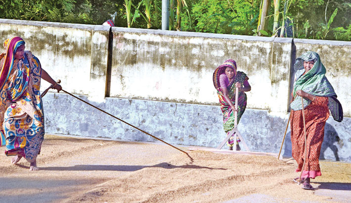Female workers are drying boro paddy