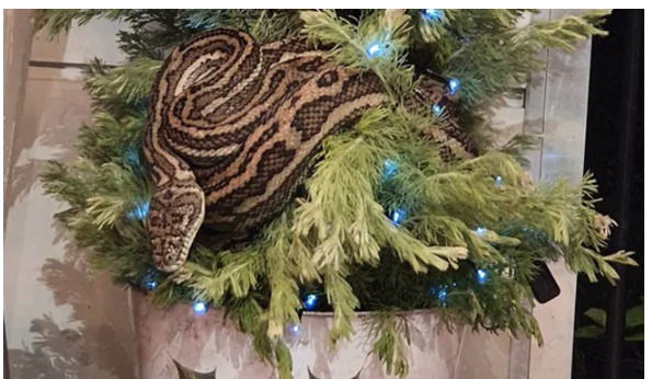 Couple finds 10-foot python wrapped around christmas tree