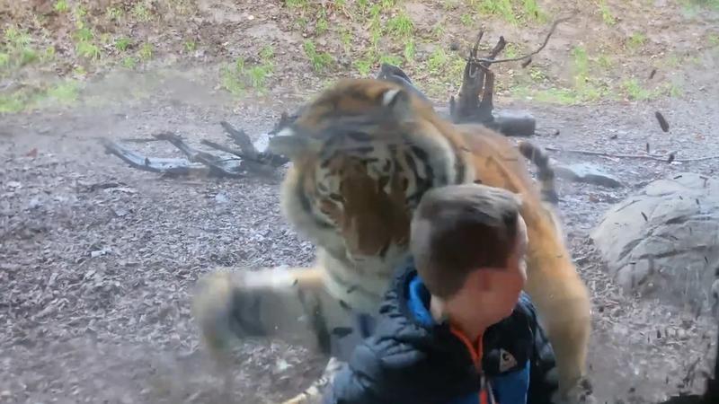 Tiger 'attacks' little boy at Dublin Zoo (Video)