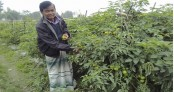 Vegetable farming transforming lives of Brahmanbaria youths