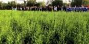 Agriculturists see high prospects in interim BARI Sarisa-14 cultivation