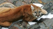 Three mountain lions shot after they ate human remains