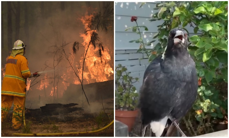 Magpie mimics sound of siren after 'hearing so many fire trucks'(watch)