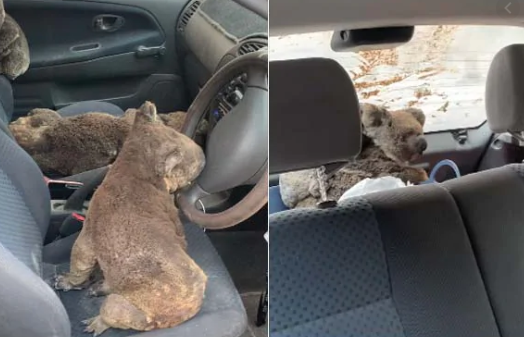 Teens fill car with Koalas to rescue them from Australia bushfires
