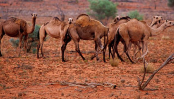More than 10,000 camels to be killed  in Australia because they drink too much water