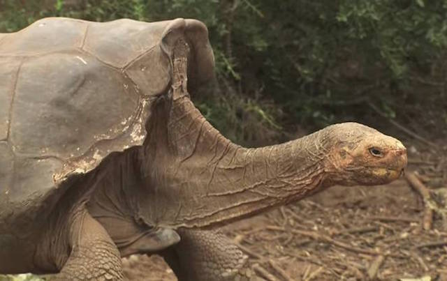 Giant tortoise Diego to return home after captive breeding program