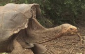 Giant tortoise Diego to return home after captive breeding program
