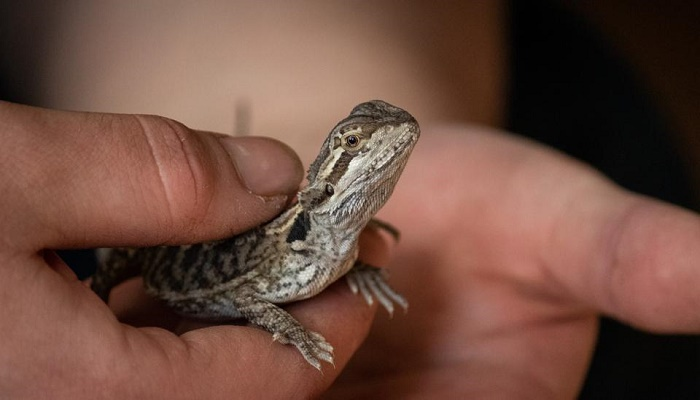 Man caught smuggling live monitor lizards inside electronics