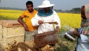 Boom in beekeeping in Jashore mustard fields