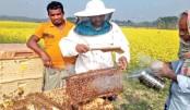 Beekeeping in Jashore mustard fields expanding