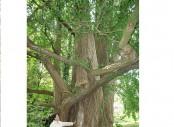 Secrets of '1,000-year-old trees' unlocked