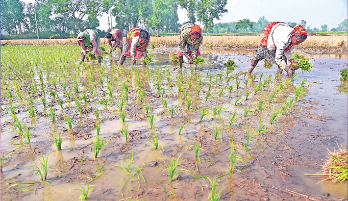 Rangpur farmers begin transplantation of Boro seedlings