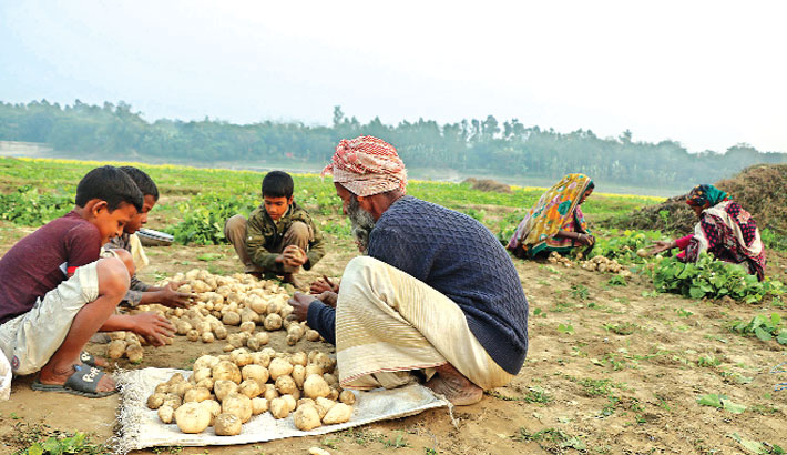Farmers are busy sorting out sweet potatoes