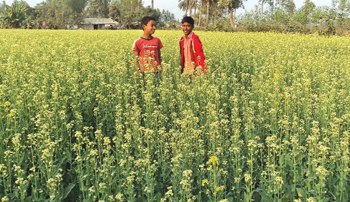 Bumper mustard output likely in Bogura