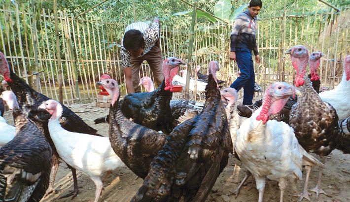Farmers become self-reliant rearing turkey in Bogura