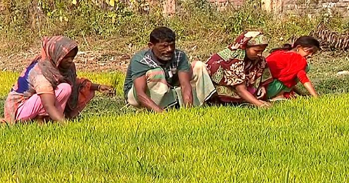 Faridpur farmers losing interest in Boro crop