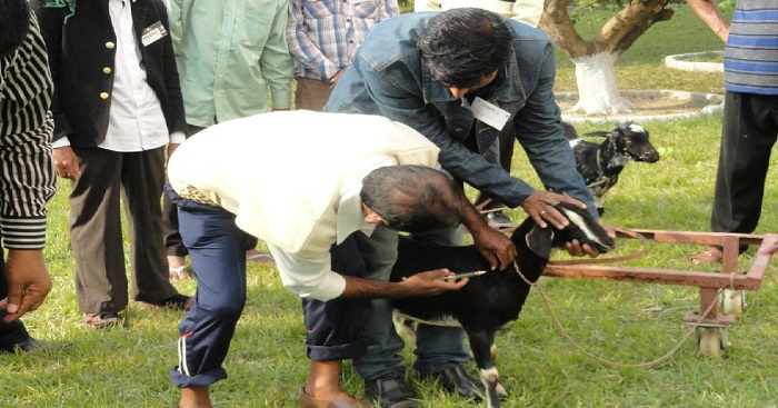 Gazipur farmers worried over shortage of goat vaccines