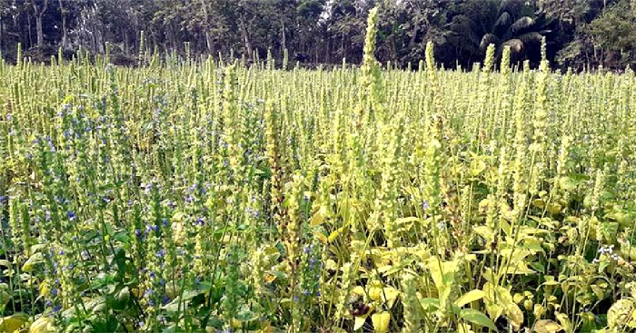 'Chia' cultivation gives hope to Jashore farmer