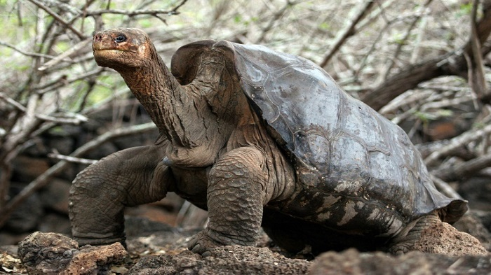 Relative of extinct tortoise located in Galapagos