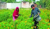 Flower farming on Barind lands boon for farmers