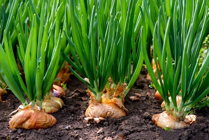 Onion cultivation continues following lucrative price